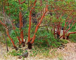 madrone bomen - rogue river canyon - prospect, of foto