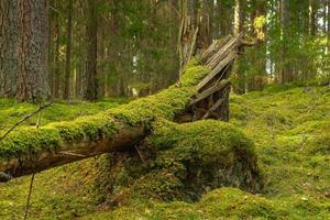 gebarsten en omgevallen dennenboom bedekt met groen mos foto