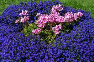kleurrijk bloembed met roze en blauwe bloemen foto