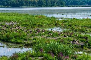 grote groep grijze ganzenvogels die in lentezonlicht nestelen foto
