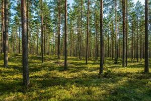 zomer uitzicht op een prachtig dennenbos in Zweden foto