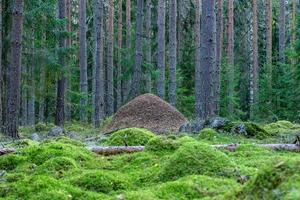 grote mierenhoop midden in een dennen- en sparrenbos foto