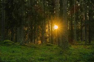 dennen- en sparrenbos met ondergaande zon foto