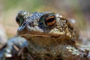 gedetailleerde close-up van een groene gespikkelde kikker in zonlicht foto