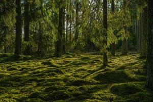 prachtig groen sparrenbos in zonlicht foto