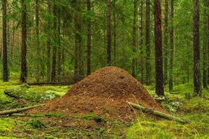 grote mierenhoop in een dennen- en dennenbos foto
