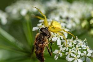 vlieg wordt meegenomen door een gele krabspin foto