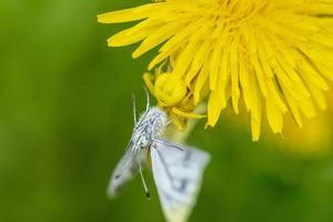 gele krabspin voeden met een vlinder foto