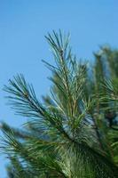 takken van een denneboom op een blauwe achtergrond van de hemel foto
