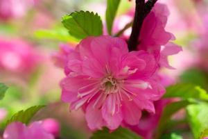 mooie bloemen roze achtergrond van sakura bloemen foto