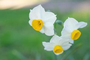 natuurlijke achtergrond met witte narcisbloemen foto