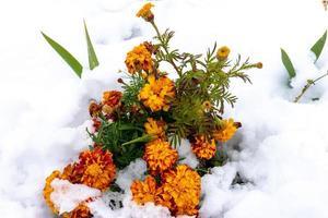 natuurlijke achtergrond met oranje bloemen in sneeuw foto