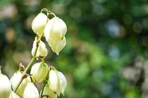 florale achtergrond met yucca tussen de zo groene bladeren foto