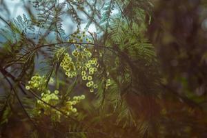 de bloemen en bladeren van acaciazilver in de achtergrondverlichting in de lente in abchazië foto