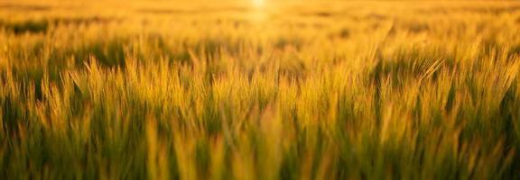 korenveld met warm licht en selectieve aandacht foto