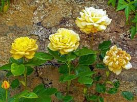 gele rozen bloeien in een ommuurde tuin foto