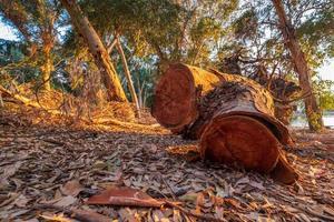 snijd boomschors bij het athalassameer, cyprus badend in warm middaglicht foto