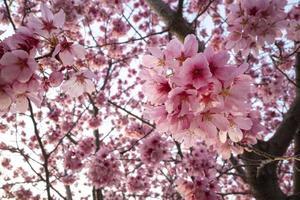 mooie roze perzikboom bloesem foto
