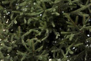 pijnboom met sneeuw. mooi fotoconcept van hoge kwaliteit en resolutie foto