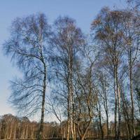 zilverberken in de winter met een blauwe lucht foto