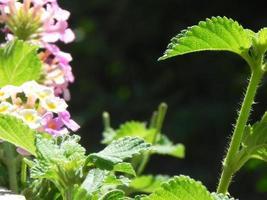 smeerwortelplant met paarse bloemen foto