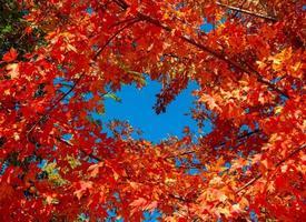 bladeren rond de blauwe - een oktober-esdoornscène - buigen, of foto