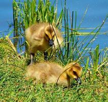 gouden vogels - twee Canadese gansjes aan de oever van Walton Lake - ten noordoosten van Prineville, of foto