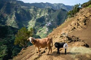 geiten in de anaga mouintains in tenerife foto
