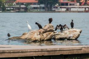 aalscholvers op een rots in de lagune van rodrigo de freitas in rio de janeiro foto