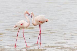 twee het hof maken van flamingo's aan de oever van het zoutmeer van larnaca in cyprus foto