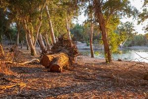 snijd boomschors bij het athalassameer in cyprus, badend in warm middaglicht foto