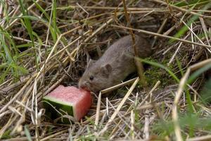 muis eet een stuk watermeloen foto