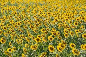 zonnebloemtuin achtergrond met mooie gele bloem in thailand foto