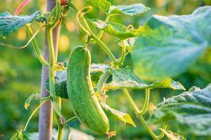 verse komkommergroenten van de komkommerboerderij foto