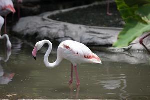 flamingo in water foto