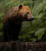 portret van bush dog foto