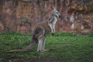 rode kangoeroe op gras foto