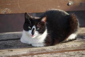portret van een zwart-witte kat foto