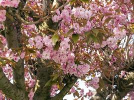 kersenboom met roze bloesem in het voorjaar foto