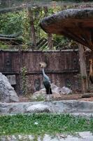 grijze kroonkraanvogel of balearica regulorum staat in een kooi foto