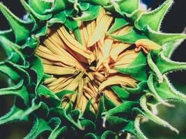 zonnebloem close-up in de natuur foto