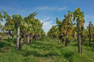 druiven in de wijngaard in het zuiden van frankrijk in de provence foto