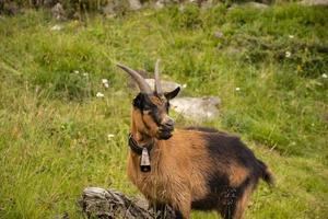 geiten die grazen in de weilanden van Zuid-Tirol foto