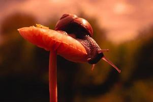 Bourgondische slak bij zonsondergang in donkerrode kleuren en in een natuurlijke omgeving foto