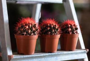 rode cactussen in de vitrine foto