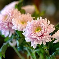 chrysant moeders chrysanten bloeien close-up foto