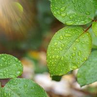 regendruppels op de bladeren van de groene plant in regenachtige dagen foto