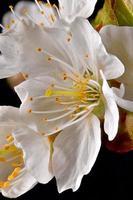 macro-opname van een kersenbloesem met meeldraden en bloemblaadjes foto