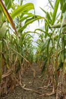 rijpe maïsplanten gekweekt in rijen in een veld met een bewolkte hemel foto