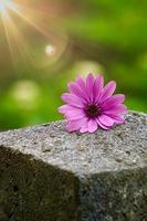 mooie roze bloem in de tuin in het voorjaar foto